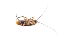 Dead cockroach isolated. On a white background Royalty Free Stock Images
