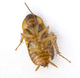 Dead Cockroach on its back. This image shows a dead Cockroach (partial body Stock Image