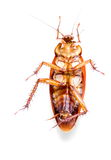 Dead cockroach vertical isolated on white .Stock photo Stock Image