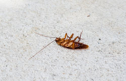 Dead cockroach on white back ground. Royalty Free Stock Image