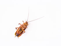 Dead cockroach on white background Stock Image