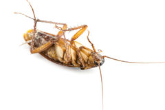 Dead cockroach on a white background. Royalty Free Stock Images