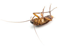 Dead cockroach on a white background. Royalty Free Stock Photo