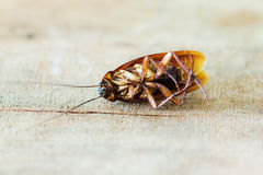 Dead cockroaches Royalty Free Stock Photo