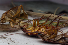 Dead cockroaches. On the floor contaminated debris stock photo