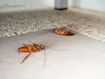 Dead cockroaches on the floor in home Royalty Free Stock Image