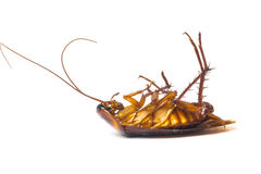 Dead cockroaches. Isolate white background royalty free stock photography