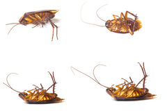 Dead cockroaches. Isolate white background stock photos