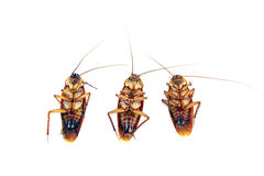 Dead Cockroaches isolated. Stock Photo