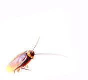 Dead cockroaches. Isolated on a white background stock images