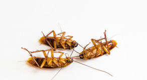Dead-cockroaches Royalty Free Stock Images
