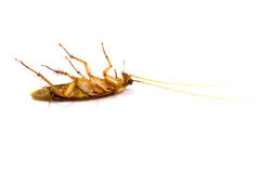 Dead cockroaches. On white background Stock Photos