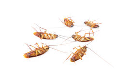 Dead cockroaches on white background.  Stock Photos