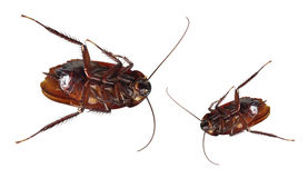 Dead Cockroaches. On White Background Royalty Free Stock Photo