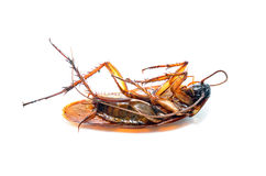 Dead cockroaches on the white background. Healthcare concept royalty free stock image