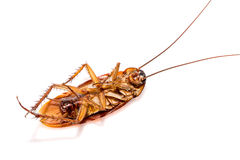 Dead cockroaches on white background Stock Image