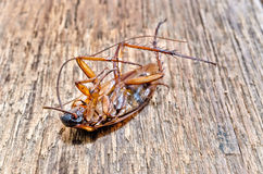 Dead cockroaches on the wooden floor, Healthcare concept. Selective focus and color filter / Dead cockroaches on the wooden floor, Healthcare concept royalty free stock photography