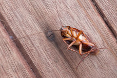 Dead cockroaches Royalty Free Stock Photography