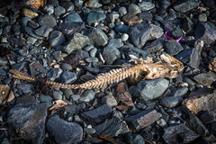 Dead Cod Fish Stock Images