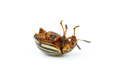 Dead colorado potato beetle Stock Photography