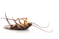 Dead common cockroach Stock Image