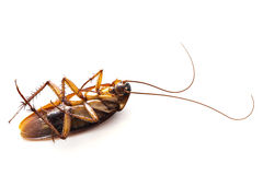 Dead common cockroach Royalty Free Stock Photography