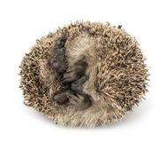 Dead Common hedgehog, Erinaceus europaeus Royalty Free Stock Images