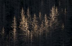 Dead Conifer Forest Stock Images