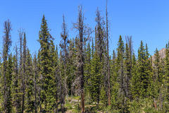 Dead Conifer Trees Killed by Bark Beetle. Mountain view of Western USA conifer trees killed by epidemic of bark beetle family of insects next to healthy trees Stock Image