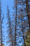 Dead Conifer Trees Killed by Bark Beetle. Western USA conifer trees killed by epidemic of bark beetle family of insects Stock Image