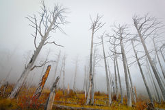 Dead coniferous forest Royalty Free Stock Image