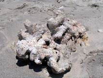 Dead coral on the beach. A piece of dead coral reef thrown out by the sea Stock Photography