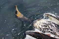 Dead cormorant Stock Photos