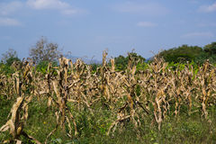 Dead corn field Stock Photos