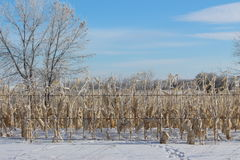 Dead corn field with corn cobs still on the plant sitting in a field of snow. Stock Photos