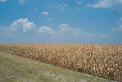 Dead cornfield due to drought Stock Image