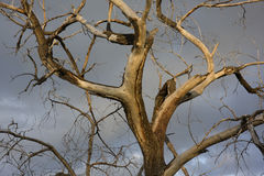 Dead cottonwood tree Stock Photography