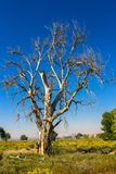 A tall, once-majestic Cottonwood tree has died of drought in rural Utah. A Cottonwood tree in rural Utah has died from lack of water stock photo