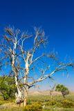 A tall, once-majestic Cottonwood tree has died of drought in rural Utah. A Cottonwood tree in rural Utah has died from lack of water stock photography
