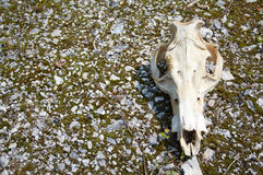 Dead cow. This is a Cow Scull setting on a piece of wood in the hot, baron desert Royalty Free Stock Photo