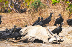 Dead Cow. Buzzards eating a dead cow carcass Royalty Free Stock Photos