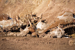 Dead cow on the ground Royalty Free Stock Photography