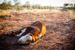 Dead Cow Royalty Free Stock Images
