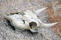 Dead Cows skull Royalty Free Stock Image