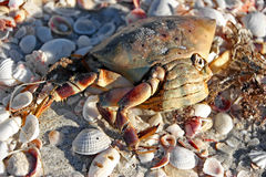 Dead Crab Stock Images