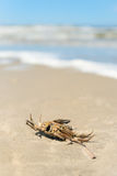 Dead crab Stock Image