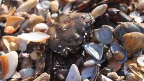 Dead crab. On the beach overgrown and devoured by insects stock video