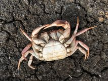 Dead crab carcass. On dry soil Stock Photo