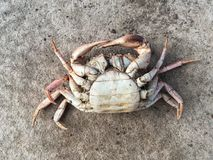 Dead crab carcass. On the ground Royalty Free Stock Images