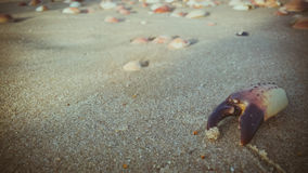 Dead crab claw on the sand at the beach Stock Photo